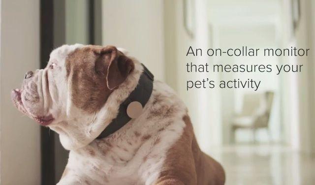 Whistle, un gadget care te ajuta sa monitorizezi activitatea catelului [VIDEO]