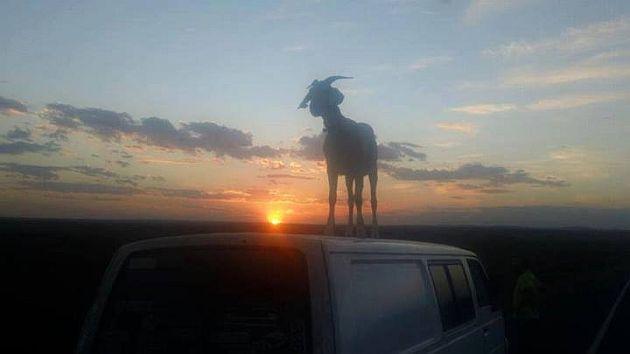 Faceți cunoștință cu Gary, capra ce poartă o cameră GoPro