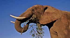 Descoperire majoră în România: strămoșul elefantului a trăit pe teritoriul județului Vaslui