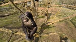 Până şi cimpanzeii s-au săturat de drone [VIDEO]