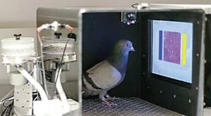 Acești porumbei pot găsi țesuturile canceroase în mamografii