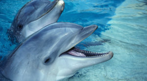 """Oamenii de știință au înregistrat pentru prima oară o """"conversație"""" între doi delfini"""