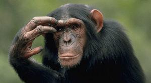 Maimuțele își dau seama când cineva nu are dreptate