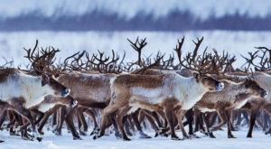 Dezastrul schimbărilor climatice: aproape un sfert din renii de la Polul Nord au murit