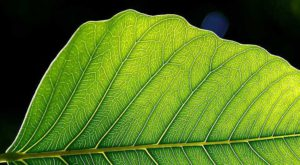 Structura frunzelor ar putea sta la baza unor baterii mai performante