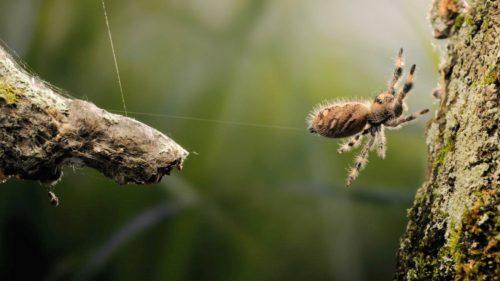 Cum au dresat cercetătorii un păianjen să sară la comandă