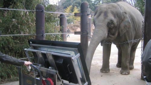 """Elefantul care """"știe"""" să folosească o tabletă e un fel de dresaj pe steroizi"""